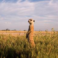 Meerkat 2a sm